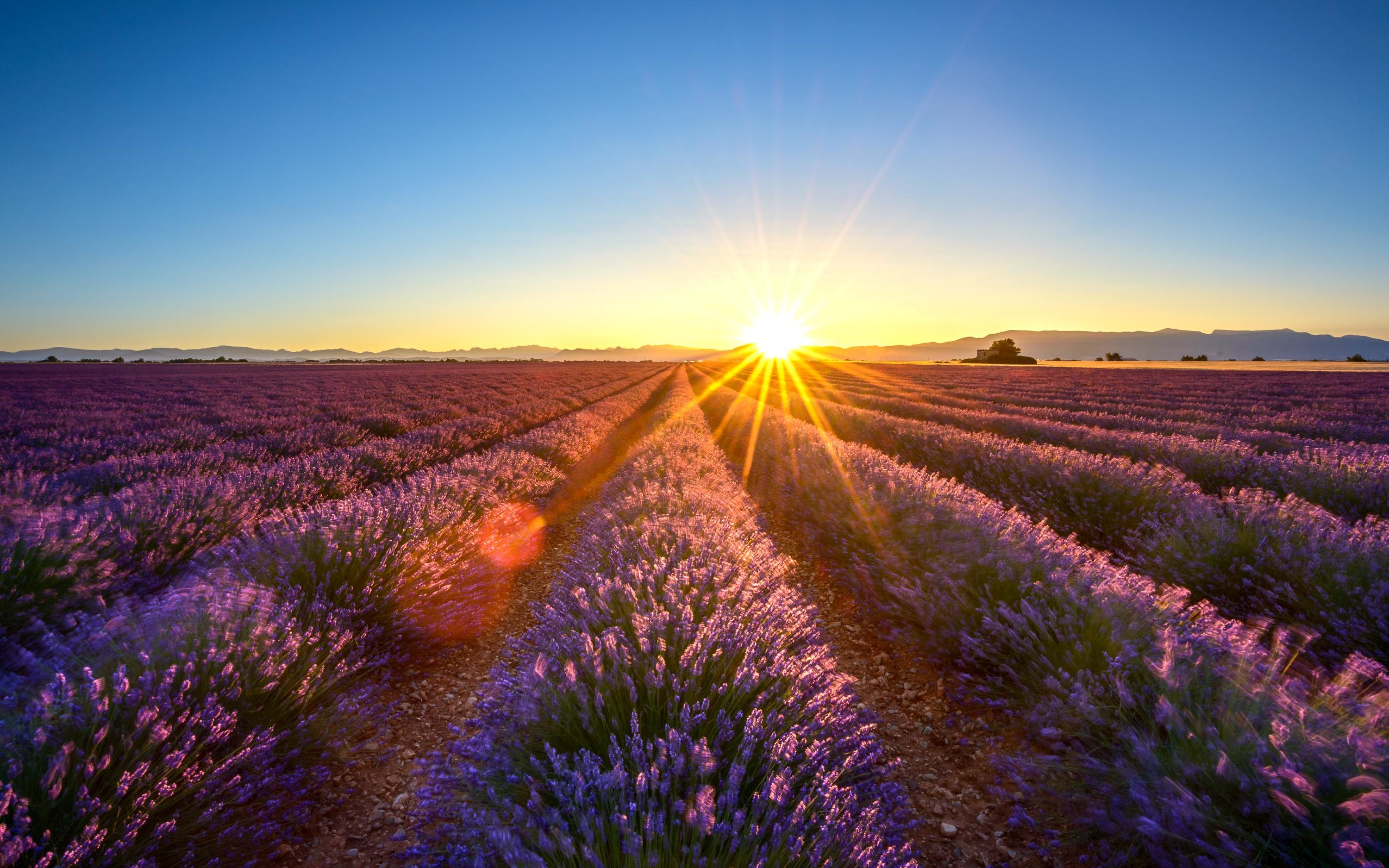 Lavender in Provence – France